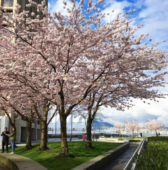 cherry blossoms, Canada Place Waterfront