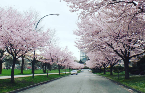 cherry blossom trees line sidewalk in marpole